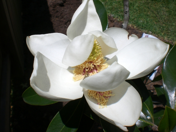 magnolia flower – texas