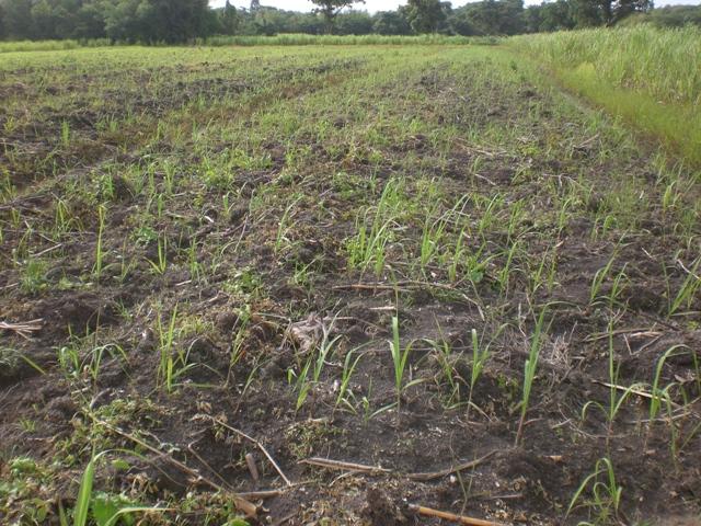 young sugar cane, west bankdemerara