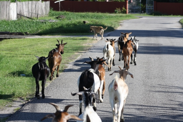 Image result for image of goats in guyana