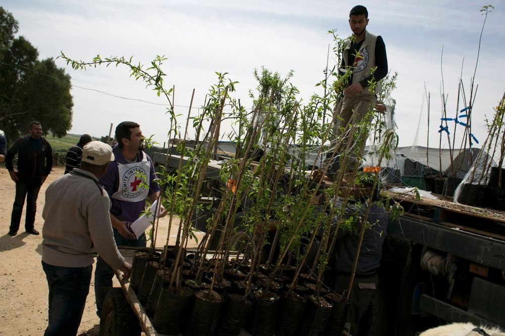 Almond saplings destined for Gaza's Wadi al-Silqa are loaded off a cart by workers affiliated with the International Committee of the Red Cross. (2 March, Said Khatib/AFP/Getty Images)
